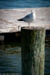 Seagull, Canton Waterfront Park